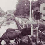 Cows in River Meon