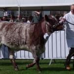 Frank Moffatt walking bull
