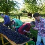 Grape sorters