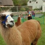 Chris Moor's Alpacas on display