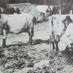 Old man milking shorthorn cows