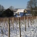 Vines in snow, early 2007