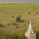 Suckler Herd on Park Hill